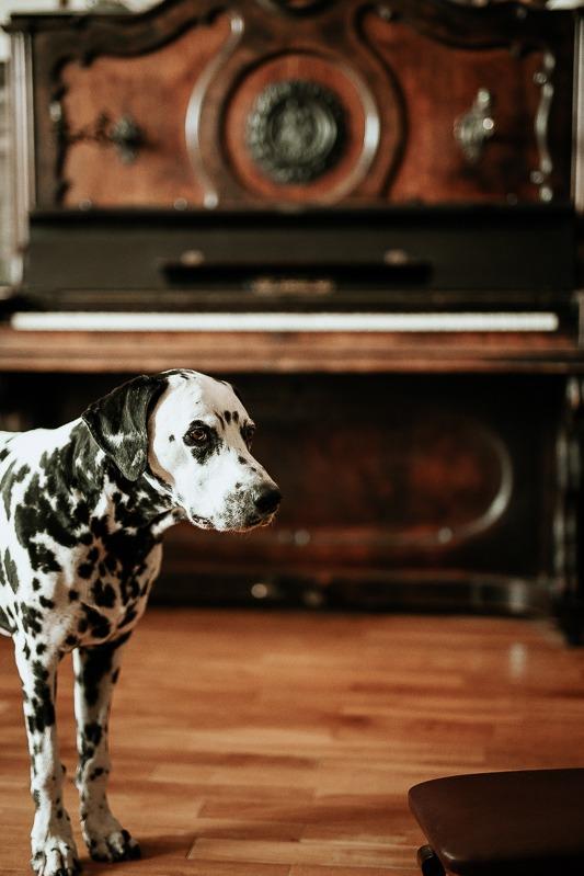 Stojący pies i pianino w tle